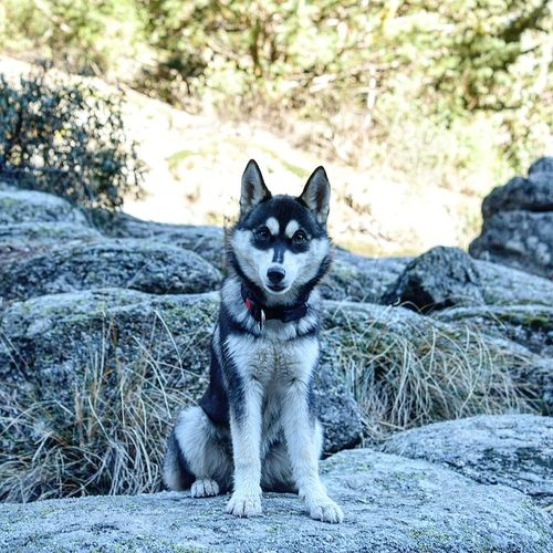 One Animal Looking At Camera Animal Themes Portrait Pets Domestic Animals Mammal No People Dog Nature Outdoors Day Landscape_Collection Nature_collection Nature Photography Puppy Siberian Husky Dog . Siberian Husky