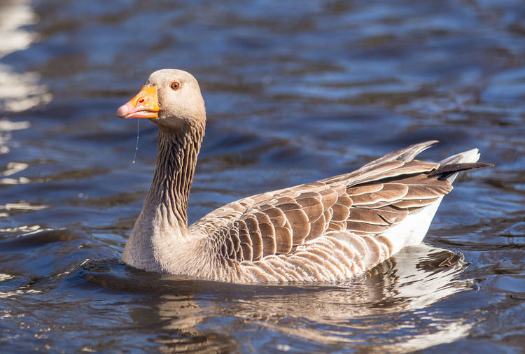 Greylag Goose on blue water. The greylag goose is a bird in the waterfowl family Anatidae. It has mottled and barred grey and white plumage and an orange beak and legs. Animals Anser Anser, Beauty In Nature Bird Bird Photography Birds Blue Water Greylag Goose Nature Surrey Uk Water Wildlife Wildlife & Nature Wildlife Photography
