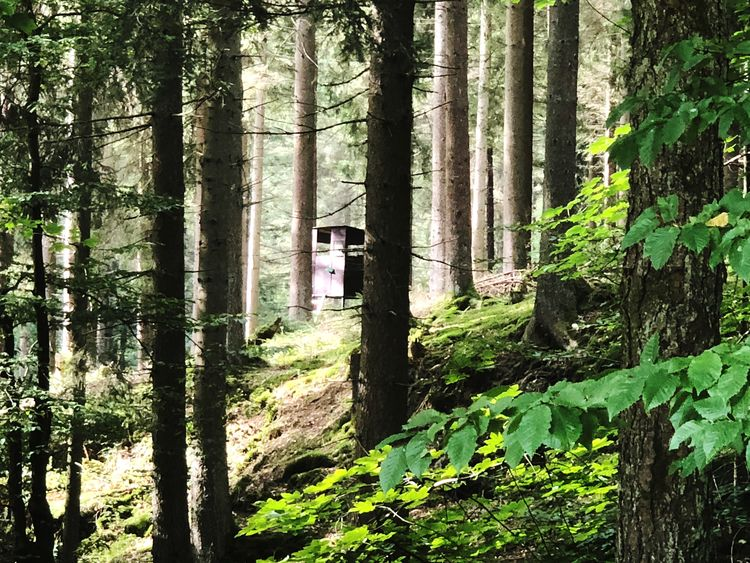 Hunting pulpit in the forest View Wooden Wood Tree STAND Seat Persuit  Path Observation Nature Hunting Equipment Hunting Chair Hunter Seat Hunter Hunt Forest Construction Chair Forest Bavaria Animal Activity Pulpit Plant Tree Forest Growth Trunk Nature Tree Trunk