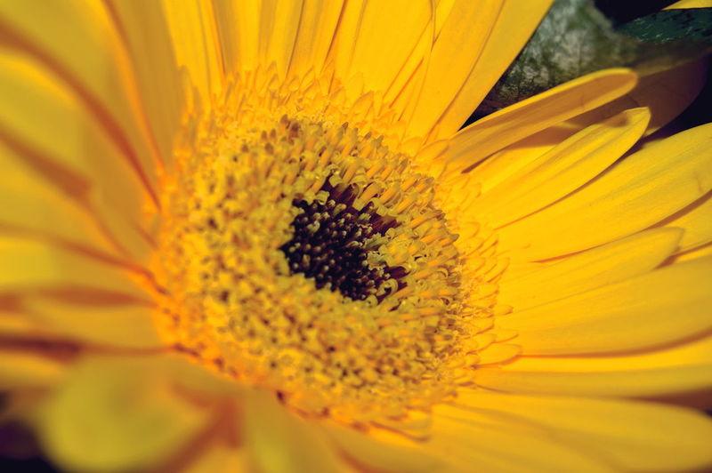Close-up of yellow gerbera daisy blooming outdoors