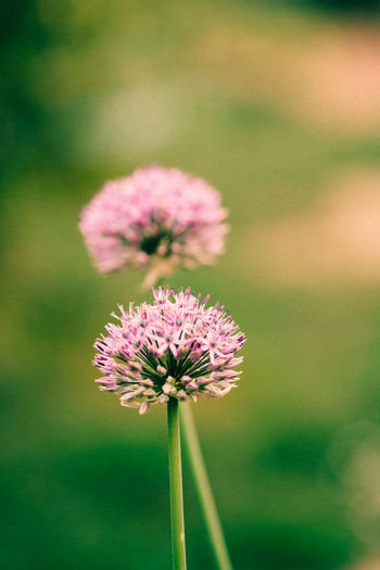 Close-up of allium flower buds growing at farm