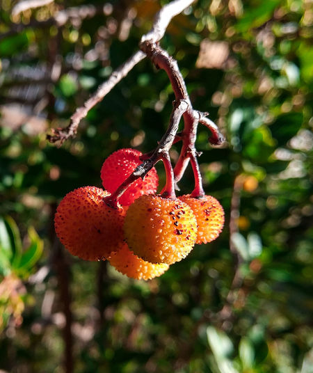 Close-up of fruits hanging on tree