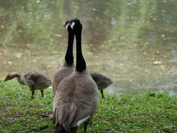 Canada Geese With Cygnets By Lake