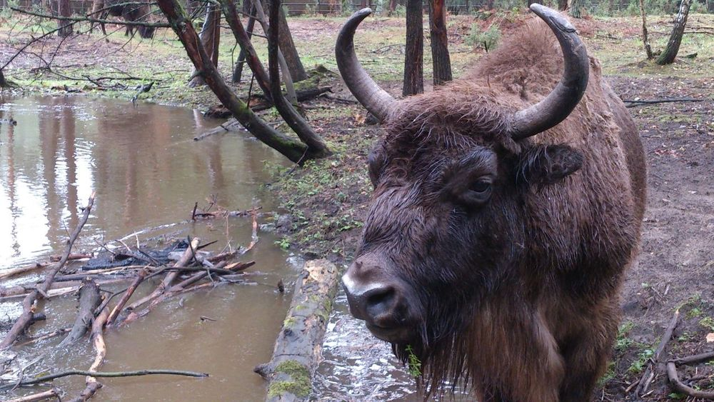 Podlasie Polska Animal Themes Animals In The Wild Aurochs Big Animal Close-up Day Forest Mammal Nature No People One Animal Outdoors Podlasie Tree Water Wildlife