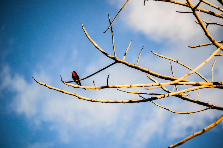 Pechi rojo en árbol. Bare Tree Beauty In Nature Bird Birds Blue Close-up Cloud Cloud - Sky Cloudy Day Focus On Foreground Growth Low Angle View Nature No People Outdoors Red Bird Red Birds Scenics Sky Skyporn Tranquil Scene Tranquility Twig Weather