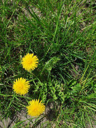 Close up view of three blooming yellow common dandelions on the green Meadow. Common Dandelion Taraxacum Officinale F. H. Wigg Taraxacum Officinale Gewöhnlicher Löwenzahn Medical Herb Medical Herbs Flower Head Flower Yellow High Angle View Field Grass Close-up Plant Blooming Green Color Dandelion In Bloom Blossom Pollen Spring Plant Life