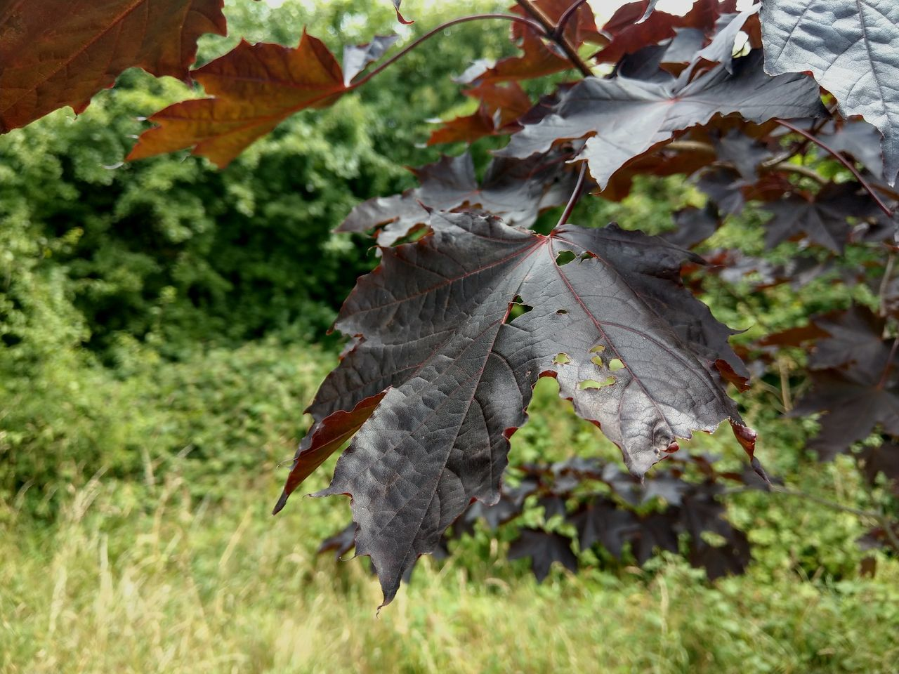 leaf, growth, nature, no people, outdoors, autumn, day, focus on foreground, beauty in nature, plant, close-up, fragility, maple, freshness