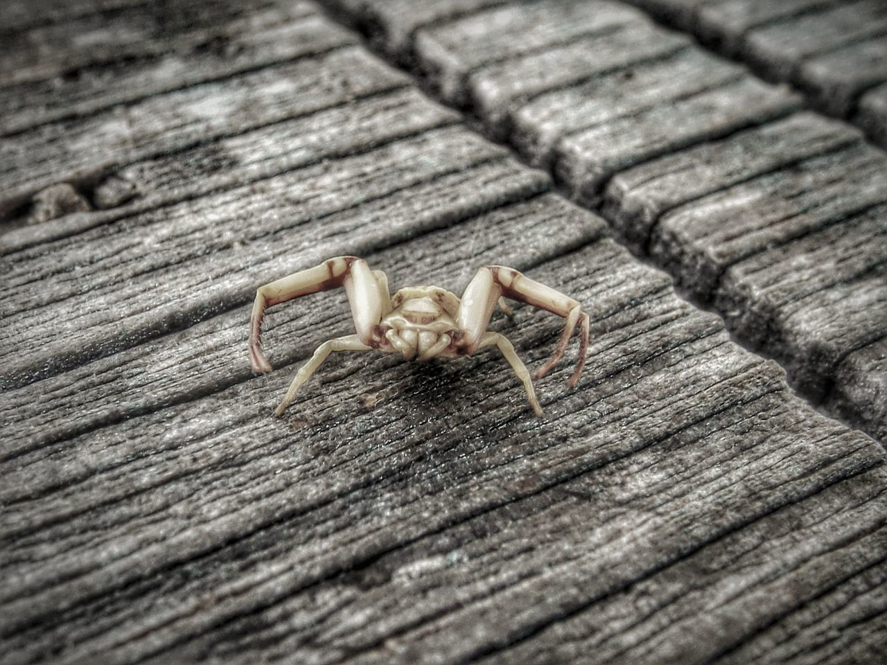 Close-Up Of Yellow Spider On Boardwalk