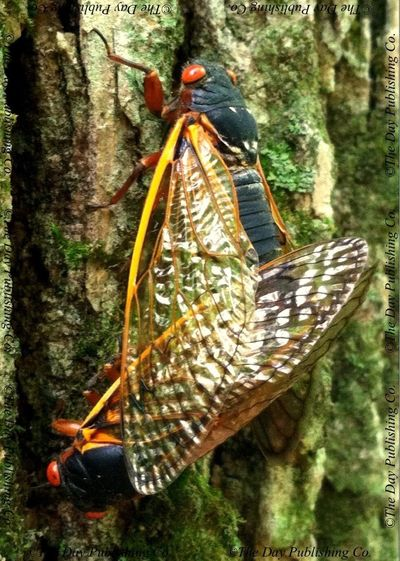 A mating pair of cicadas.