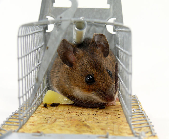 Close-up of rat in mousetrap against white background