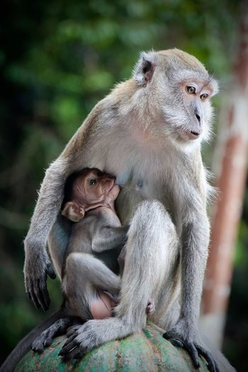Baby Monkeys Batu Caves Brestfeeding Eating Feeding Animals Feeding Time Monkey Monkeys Travel Destinations Wildlife Wildlife & Nature