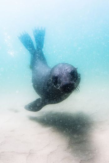Scubadiving with furseals Furseal Seal SCUBA Scuba Diving Underwater underwater photography Sea Swimming Underwater UnderSea Water Nature Animal Animal Themes No People Animals In The Wild Day Animal Wildlife One Animal Outdoors Vertebrate Low Angle View Sea Life Marine