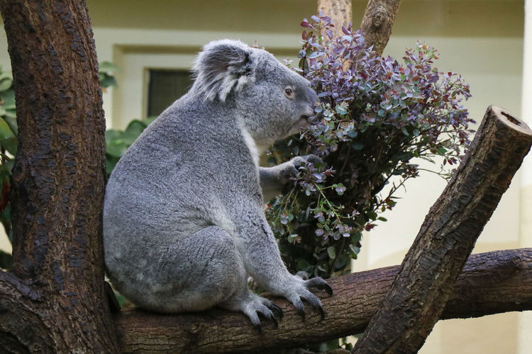 koala in tree Animal Themes Animal Mammal Plant Tree Animal Wildlife One Animal Animals In The Wild No People Vertebrate Nature Branch Day Sitting Focus On Foreground Tree Trunk Trunk Side View Outdoors Looking Koala Koala Bear