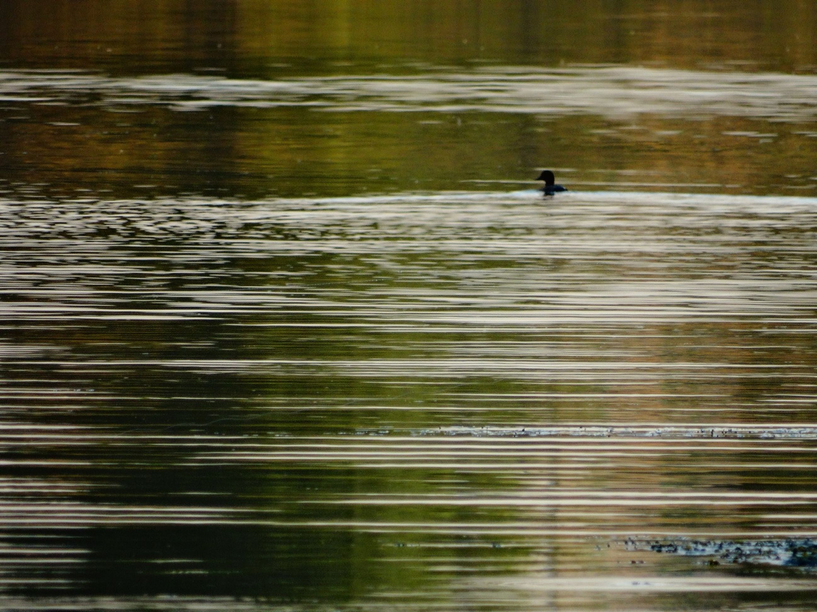 water, lake, reflection, waterfront, rippled, nature, bird, one animal, motion, tranquility, outdoors, river, beauty in nature, silhouette, blurred motion, tranquil scene, animal themes, no people, animals in the wild, day