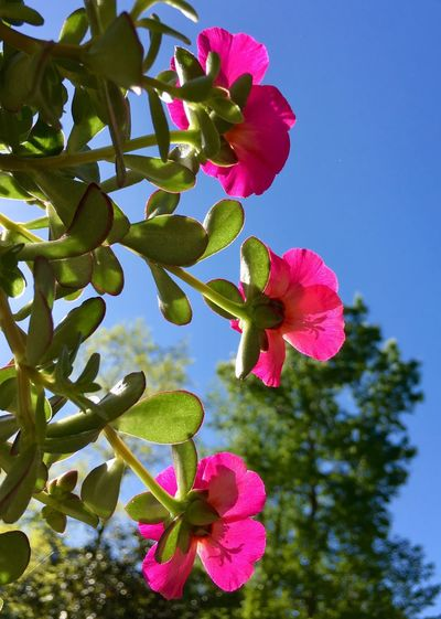 Colours Textured  Sunshine Taking Photos Springtime Portulaca Plant Growth Flowering Plant Beauty In Nature Flower Pink Color Nature Freshness Sky No People Close-up Inflorescence Low Angle View