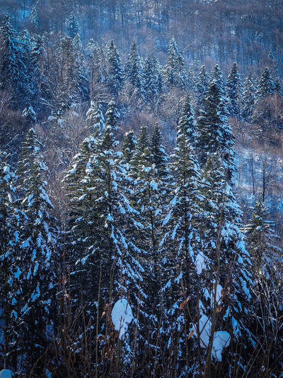 Bieszczady Mountains Beauty In Nature Bieszczady Cold Temperature Coniferous Tree Environment Evergreen Tree Forest Growth Land Mountain Nature No People Non-urban Scene Outdoors Pine Tree Pine Woodland Plant Scenics - Nature Snow Tranquil Scene Tranquility Tree Winter WoodLand