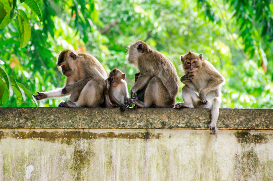 poser monkey with family thailand Animal Posing EyeEmNewHere FUNNY ANIMALS Moments Thailand Animal Family Animal Themes Animals In The Wild Day Monkey Nature No People Outdoors Poser Posing Togetherness Travel Destinations Travelphotography This Is Family