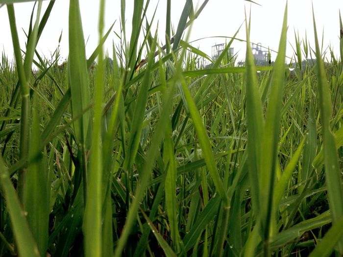 Green grass Growth Green Color Nature Field Cereal Plant Grass No People Plant Agriculture Full Frame Day Tranquility Close-up Outdoors Rural Scene Blade Of Grass Beauty In Nature Rice Paddy