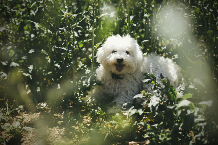 Portrait of white bolognese dog in field