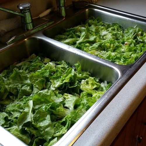 Double-sinking the lettuce from our garden. Tom Thumb variety. Nofilter Frommygarden Lettuce TomThumb yum organic organicfoodporn organicgardening greens vt vtphoto vermont gardening