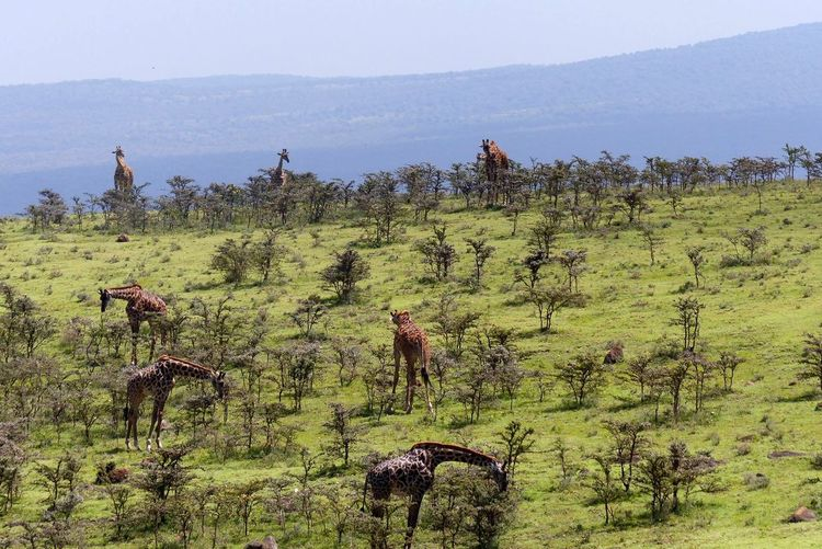 Giraffes Grazing On Landscape