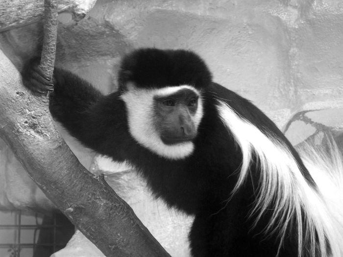 One Monkey Bnw Monkey Face Monkey Body Monkey Hand Coat Bicolor White Black Coat Two Eyes Looking To The Right Side Black And White - Monkey Close-up Three Quarter Length Black And White Photography In France