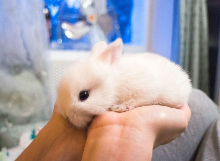 Rabbit One Animal Human Finger Person Close-up Pets Human Body Part Domestic Animals Hygiene Young Adult Horizontal Day Rabbit Animal White White Color Fluffy Human Hand One Person Real People Holding People Young Animal Animal Themes Hamster Indoors  Friendship Mammal