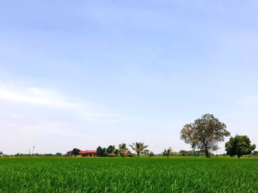 | P A D D Y | EyeEm Best Shots Vscocam Help Nice Paddy Field Sunset Panorama Plant Sky Field Land Growth Tree Agriculture Grass Beauty In Nature Landscape Rural Scene Day Farm Nature Green Color Environment No People Tranquil Scene Tranquility Scenics - Nature A New Beginning