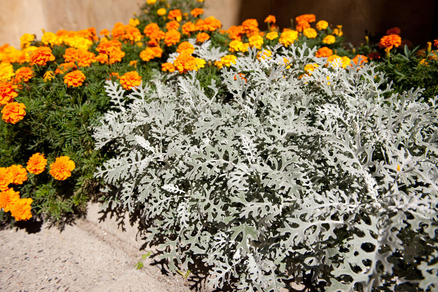 Late summer composition of tagetes and Artemisia stelleriana silver plant called Dusty Miller or Beach Wormwood or Oldwoman. Bunch of ornamental leaves and yellow tagetes flowers defocused behind, both small plants. Photo taken in Poland Artemisia Artemisia Stelleriana Asteraceae Beach Wormwood Bloom Blooming Clump Dusty Miller Flower Flowerbed Flowering Flowers Foliage Garden Leaves Nature Oldwoman Perennial Plant Plants Tagetes Wormwood