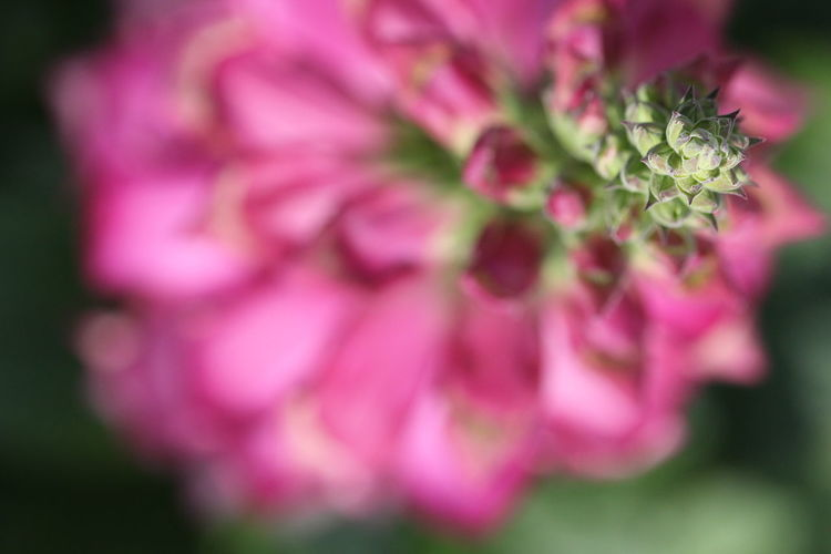 Directly above shot of pink flowers