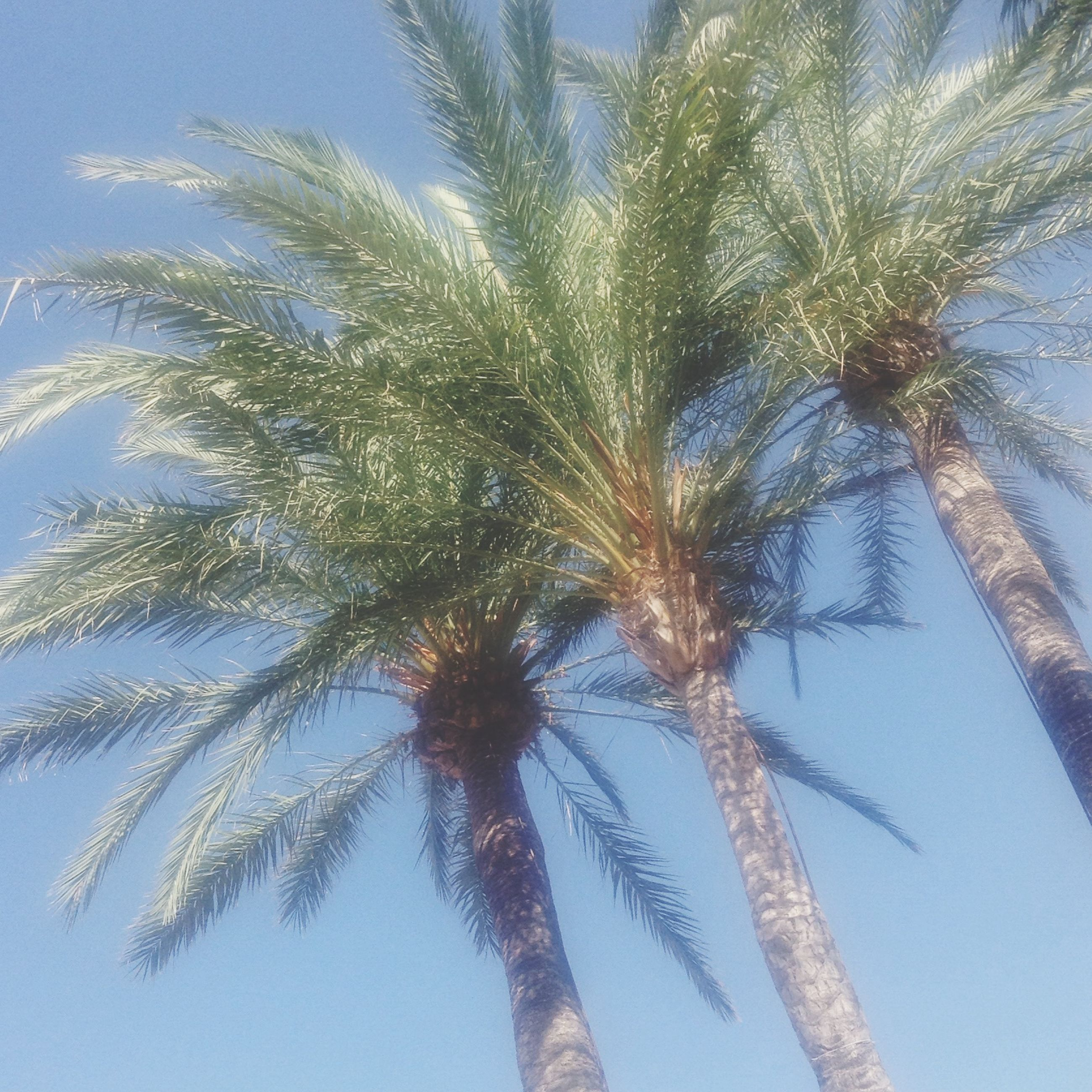low angle view, palm tree, tree, growth, clear sky, nature, branch, sky, beauty in nature, tranquility, blue, day, outdoors, palm leaf, no people, tree trunk, sunlight, tall - high, close-up, coconut palm tree