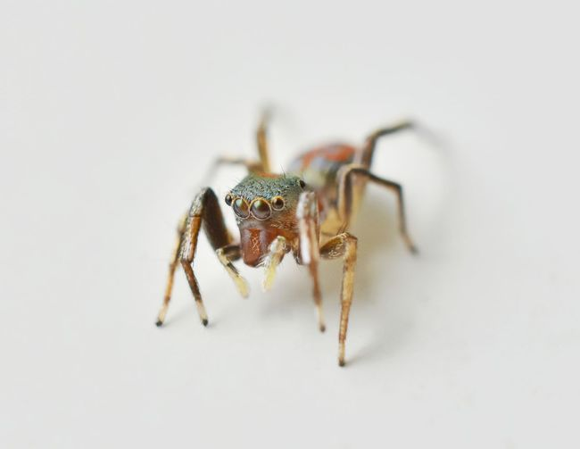 Beautiful macro with a small spider on a white background. Isolated Animal Macro Spider Animal Themes Close-up