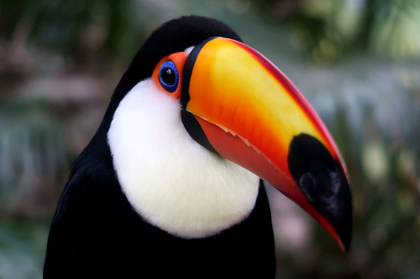 Toucan Exotic Bird Toucan America Animal Animal Head  Animal Themes Animal Wildlife Animals In The Wild Beauty Bird Beauty In Nature Beauty In Nature Big Bird Bird Close-up Day Exotic Birds Focus On Foreground Nature No People One Animal Orange Color Outdoors Tropical Tropical Bird Zoology