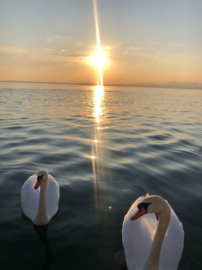 View of swan in sea at sunset