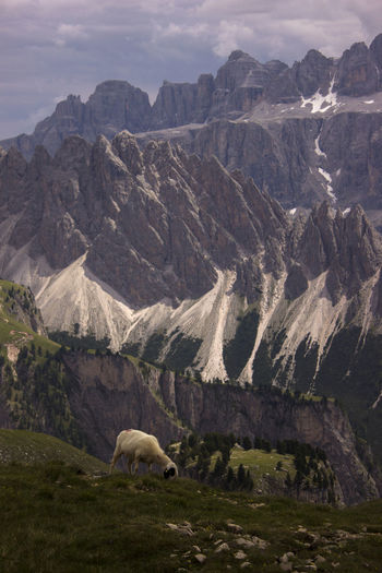 View of sheep in dolomites mountain