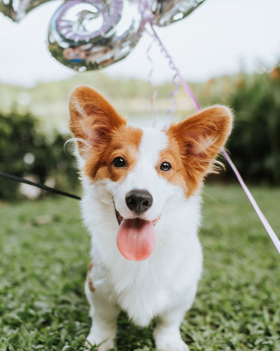 Corgi Dogs Animal Themes Close-up Corgi Day Dog Doggy Domestic Animals Grass Looking At Camera Mammal No People One Animal Outdoors Pembroke Welsh Corgi Pets Portrait Sticking Out Tongue