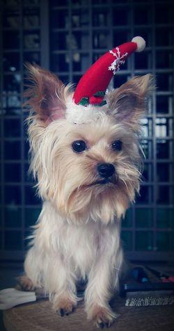 Merry Christmas everyone 🐶enjoy😆 Christmas Holidays Ocha Yorkshire Lovely Joy Happy