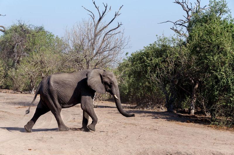 Side view of elephant walking on street
