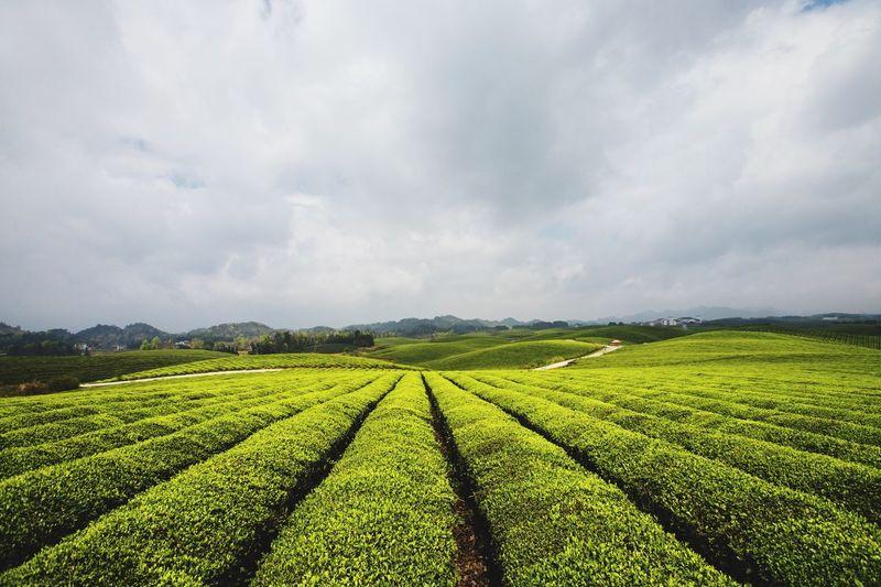 湄潭万亩茶海 Green Color 茶海 湄潭