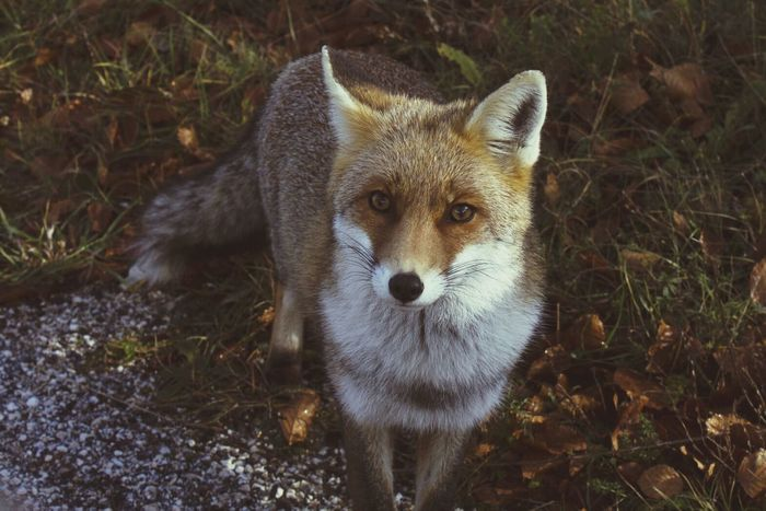 Elegance Everywhere Fox Nature Deceptively Simple Love ❤