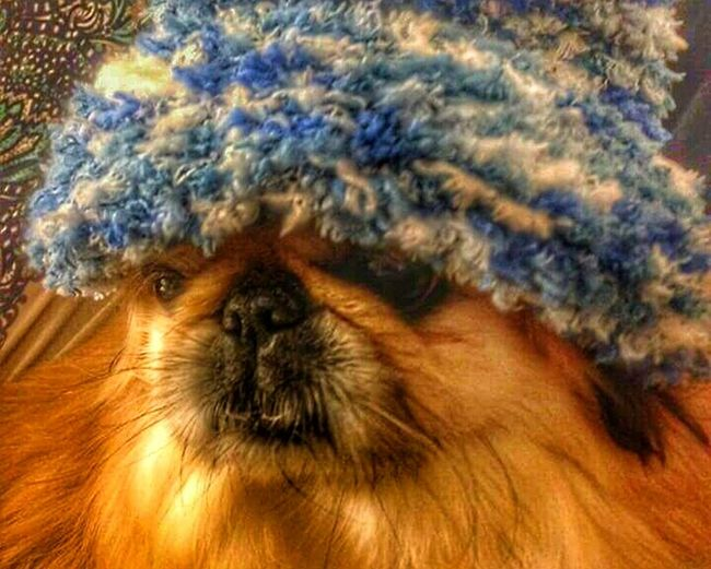 "GM... It's Cold Outside ❄ my neighbor's Dog ""Olive"" wearing a Blue Wool Hat 😜 Cute ! Have a Nice Monday. Street Fashion OR ""Doggie style"" 😆🐈🐩🐕❗ Dogs Life Hot Dogs Captured Moment Winter Pet Photography  Pet Love Not My Pet Urban Lifestyle Citylife"