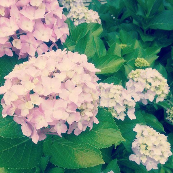 紫陽花 Hydrangea Flower 6月 June2015 多崎より