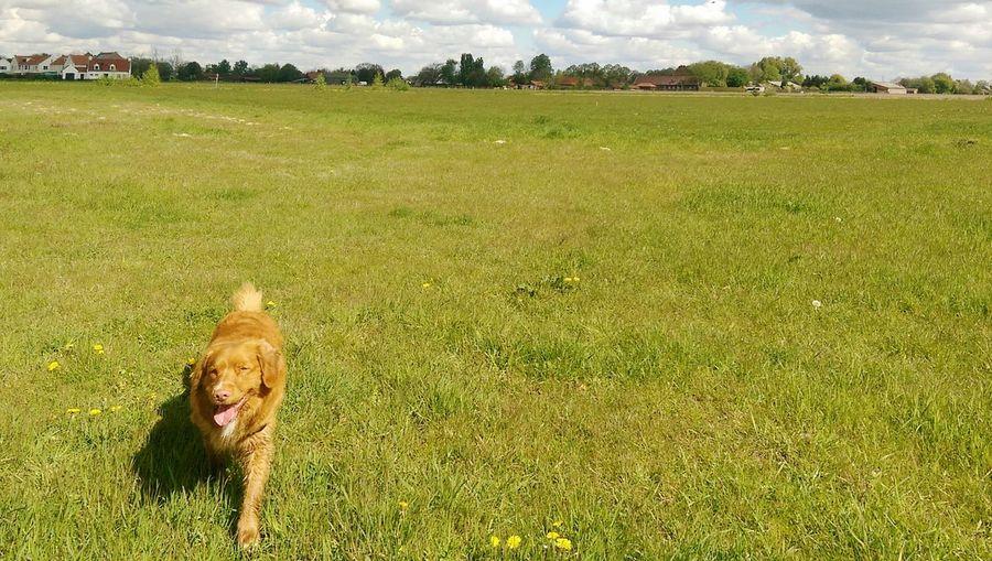 Pets Field Rural Scene Sky Grass Landscape Green Color Dog