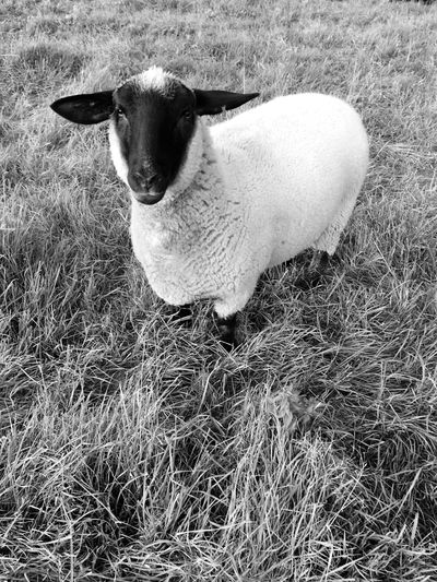 A sheep portrait 🐑. One Animal Domestic Animals Animal Themes Livestock Grass Sheep Mammal Field Sheeps Animal Full Length No People Cattle Day Nature Agriculture Outdoors Close-up Portrait Grass Standing Black And White