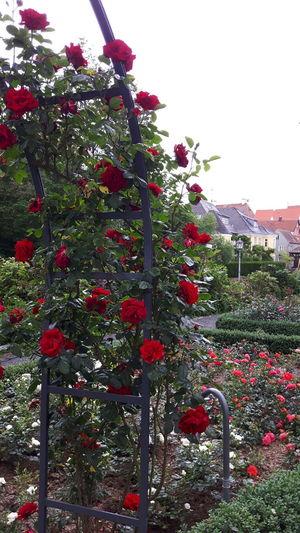Wunderschön Rosen im Rosen Garten von Amberg Amberg