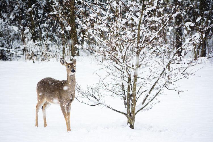 Deer on snow covered field