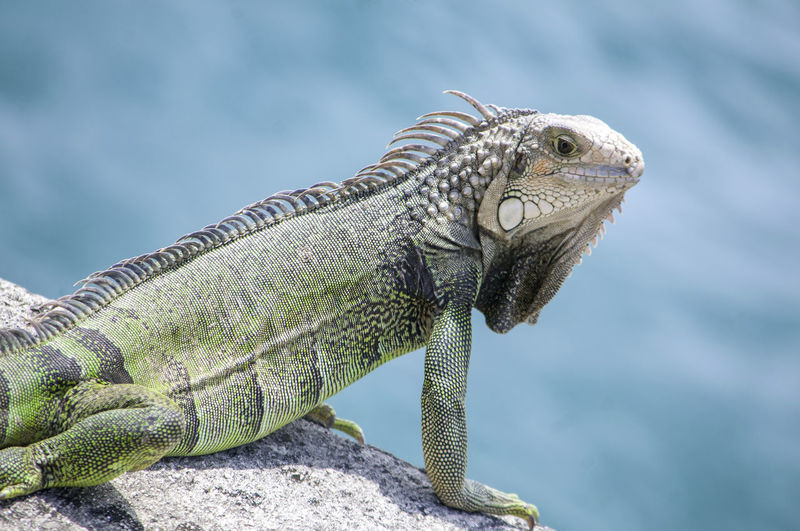 Close-up of chameleon on rock against sea