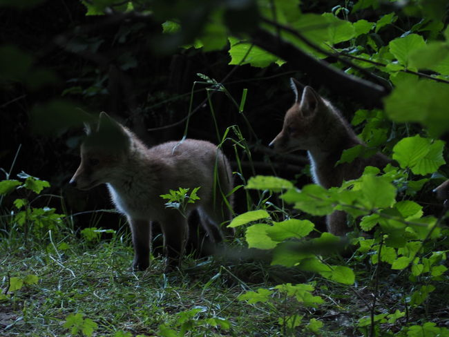 Fox cubs playing at dusk Animal Themes Animal Wildlife Animals In The Wild Cub Dusk Fox Leaf Mammal Nature Outdoors