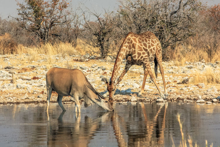 Giraffe and eland drinking water in pond at forest