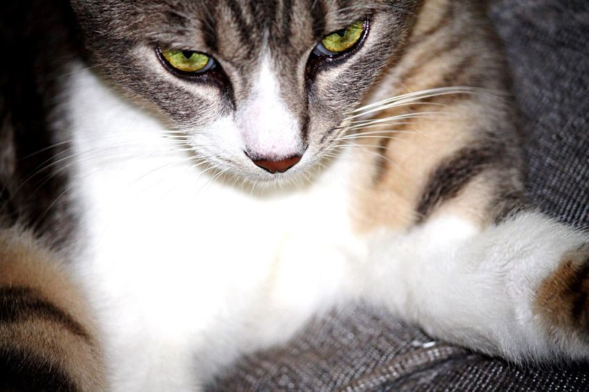 Domestic Cat Pets Domestic Animals Animal Themes One Animal Cat Animal Green Eyes Feline Photooftheday Indi 🐱